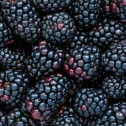Blackberries, the wonder fruit!